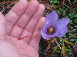A single Saffron flower from late October with the stigmas plucked out from within the blossom.