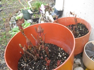 Tree peonies from autumn waiting to be transplanted, but it looks like doing well.