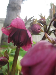 The luscious double wine-colored Hellebore is just beginning to open.