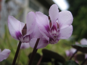 The dainty flowers on Cyclamen coum.