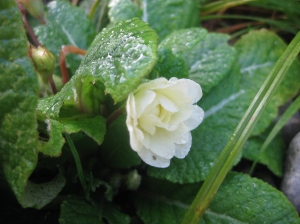 Primula 'Belarina Cream' holding up its first blossom undamaged by frost and heavy rain.