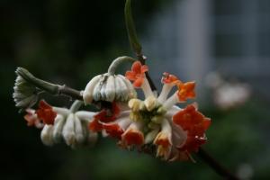 A close up of Edgeworthia chrysantha 'Akabana' flowers in full bloom.