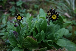 Primula polyanthus 'Gold Lace' would have better looking flowers if I kept up with the Sluggo.