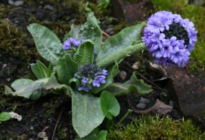 Primula denticulata is starting to stretch out exposing more flowering heads on the way.