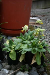 The Primula veris that are started from seeds last year are finally lifting their flowers above their foliage. Again, I need to Sluggo more frequently.