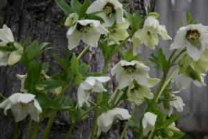 The white hellebore in full bloom.