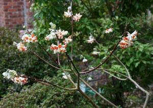 Edgeworthia chrysantha 'Akabana' in full bloom.