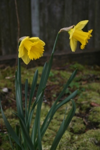 Two of the many daffodils to come.