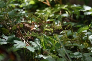 Here is Adiantum pedatum subsp. aleuticum stretching out into the April sunshine.