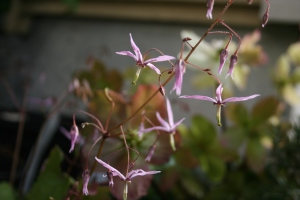 Epimedium fargesii in early March.
