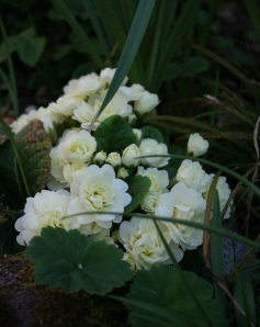 Primula 'Belarina Cream' doing her thing. Plus she is super fragrant!