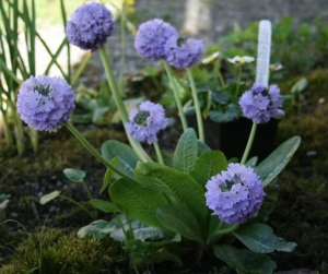 Primula denticulata such soft blossoms like lilac cotton candy.