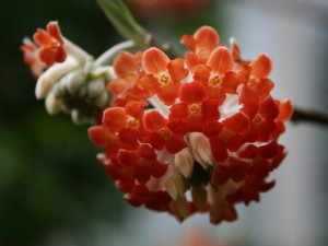I just can't get enough of it's hot orangey-red color and its fresh, sweet scent!