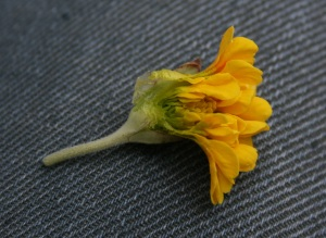 A bisected flower of Primula veris 'Katy Mcsparron'. Someone's got junk in in their trunk - she's stuffed!