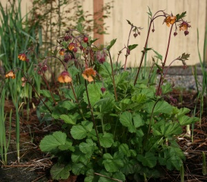 Here is Geum x 'Marmalade' with it's citrusy nodding flared flowers.