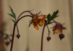 Here is a close-up of the sweetly flared flowers in glowing apricot.