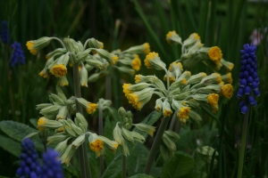 Yes another Primula veris, but this time it's Primula veris 'Katy Mcsparron', a double form!