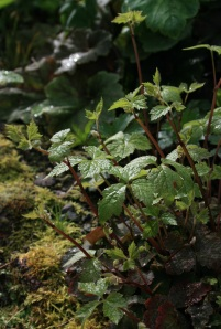 Tiarella trifoliata is the epitome of woodland.
