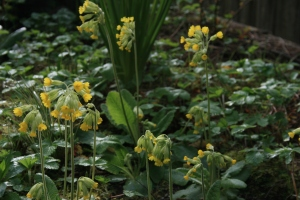 Some more Primula veris amongst wild strawberries.