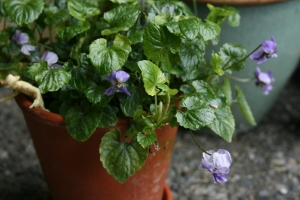 Viola 'Duchesse de Parme' has been blooming since November!
