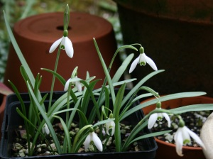 Galanthus nivalis is still blooming?! Yes, because I planted these late too.
