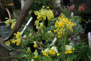 And some more Primula veris still in their pots.