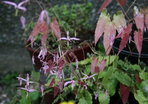 Epimedium fargesii about a month later. Look at those new leaves! Mmm!
