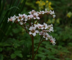 Bergenia 'Bressingham White' aging quite gracefully for a white flower.