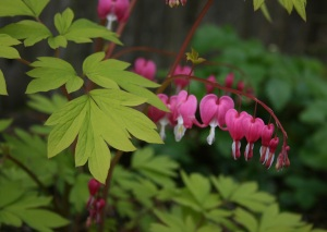 Dicentra spectabilis 'Gold Heart' with her graceful habit and beautifully contrasting pink and chartreuse colors.