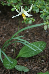 I love the patterned leaves on Erythronium oregonum.