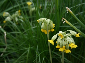 Primula veris with some grass.