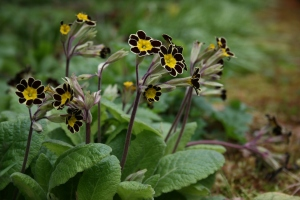 Primula polyanthus 'Gold Lace' the dainty stature and bright yellow really highlights the moody, deep maroon.