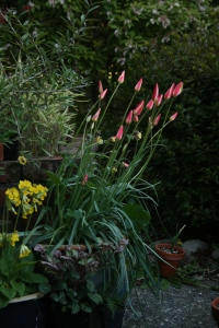 Here is Tulipa clusiana fully budded and waiting for a warm day.
