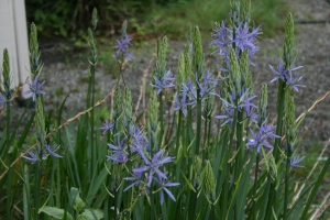 Here is Camassia leichtlinii just beginning to bloom.
