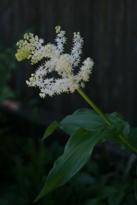Smilacina racemosa with a beautiful plume of starry white flowers.