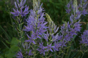 The flowers of Camassia leichtlinii are a lighter blue than its cousin Camassia quamash.
