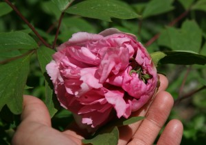 An unusual double pink with exceptionally thin, crepe-paper like petals.