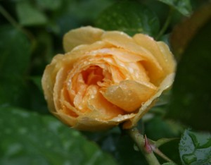 Here is the first little flower of Rosa 'Julia Child'. Her anisey scent is wonderfully delicious!
