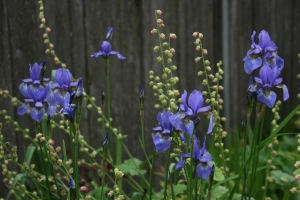 Iris 'Blue King' is taller, lighter blue, and more floriferous than 'Caesar's Brother'.