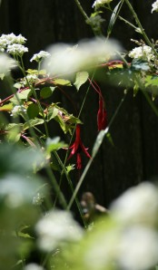 I love simple design of species fuchsias; easy to mix with other plants and the colors can shine center stage.