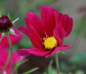 Cosmos are fun, easy annuals that bloom all summer leaving volunteers for next year.