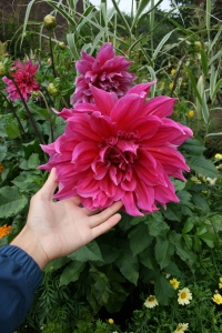 It was a ridiculously ginormous dahlia.