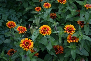 These spicy zinnias really burned bright in the overcast gray.
