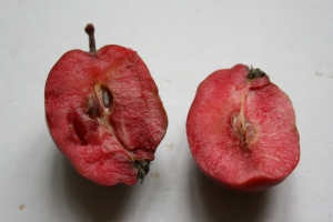 This crabapple naturally has red flesh, hence the name Malus x heterophylla 'Redflesh'.