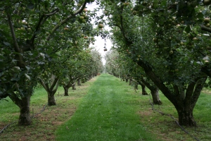 Looking down one of the many paths through the apple section of the Orchard.