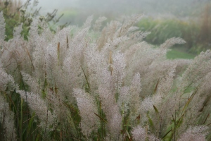 The Calamagrostis heavy with dew from the morning mist.