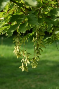 I love the little safety line of seeds on Acer cissifolium in the arboretum.