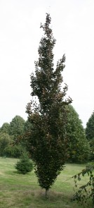 Here's another example: Fagus sylvatica 'Rohan Obelisk'. Still the same species, just uptight.