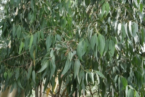 The icy, blue-green, sickle leaves is common in the genus Eucalyptus.
