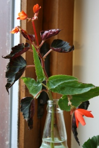 A few of the flowers have fallen off, but the Begonia flowers are equally as hot as the Pelargonium.
